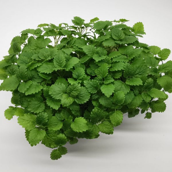 lemon balm (melisa)