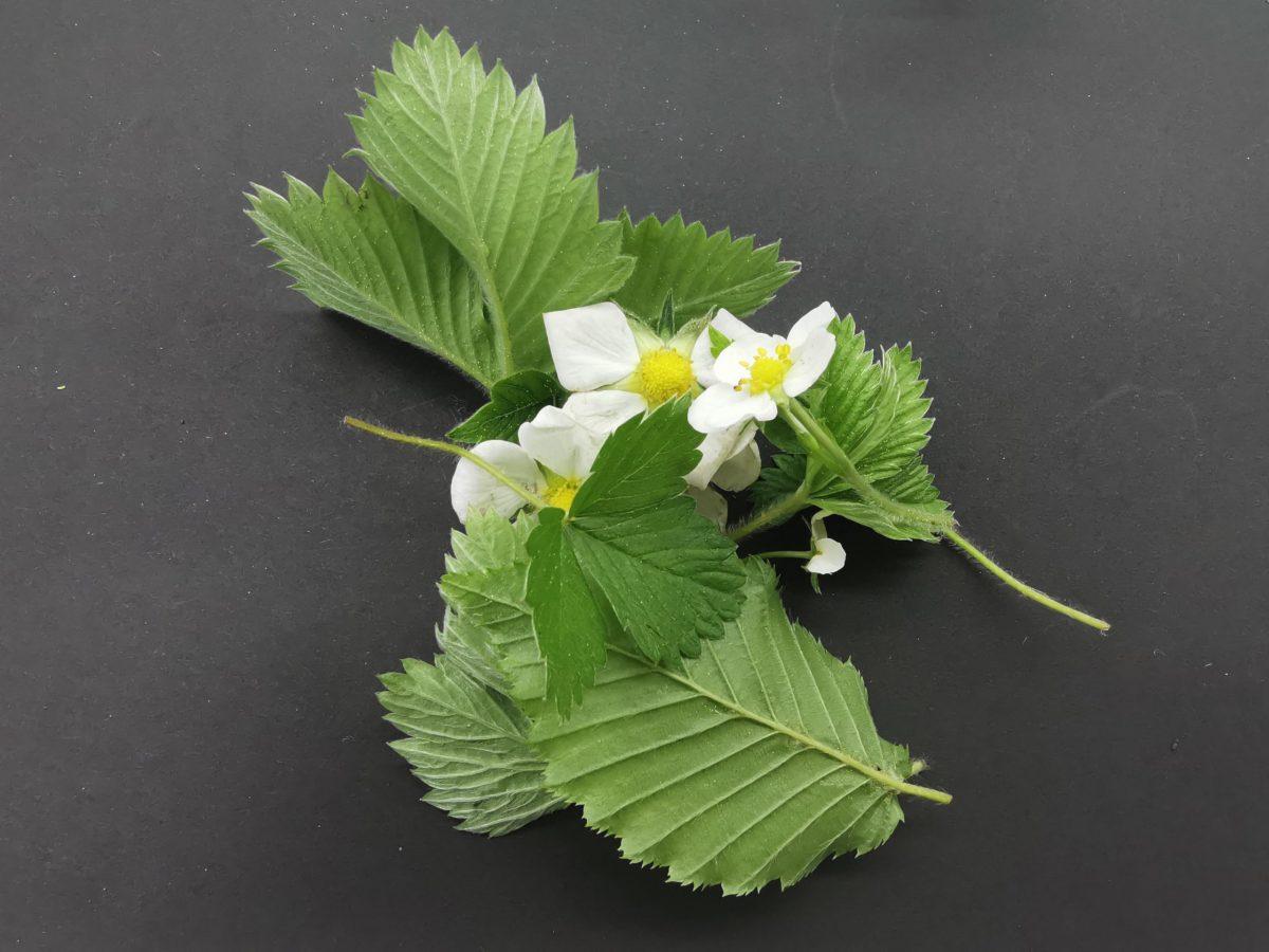 listje in cvetje gozdne jagode