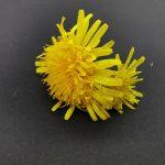 cvet regrata