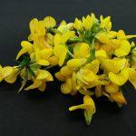 nakota (travniško cvetje)